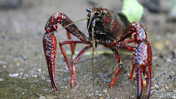 Roter Amerikanischer Sumpfkrebs (Wikipedia)