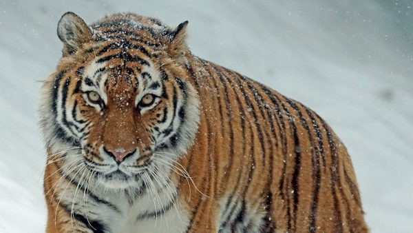 Tiger 4Lesezeiten